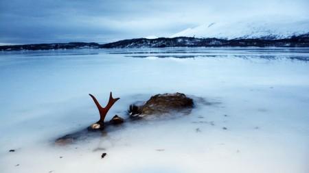 frozen elk in Valnesfjord image Inger Sjoberg