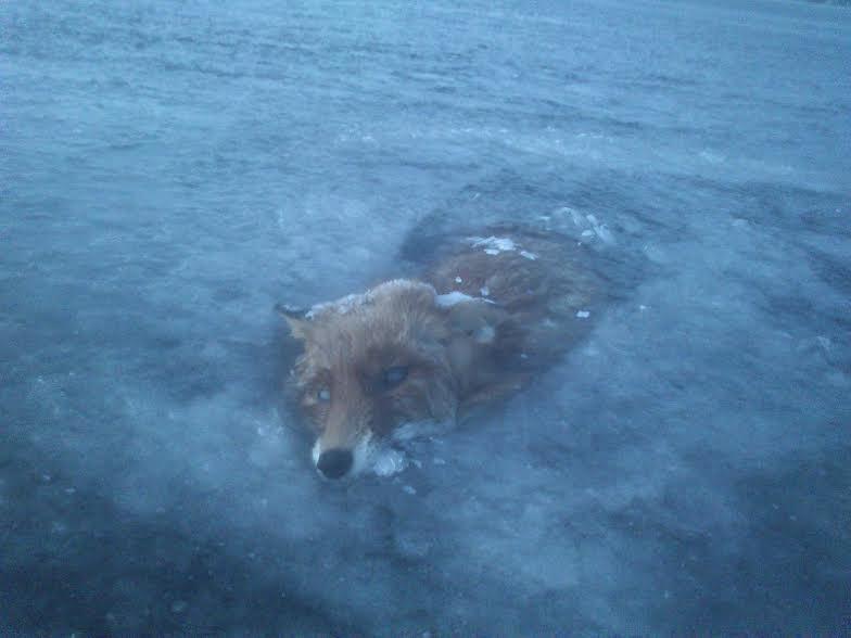 frozen fox photo Jeffer Sandström