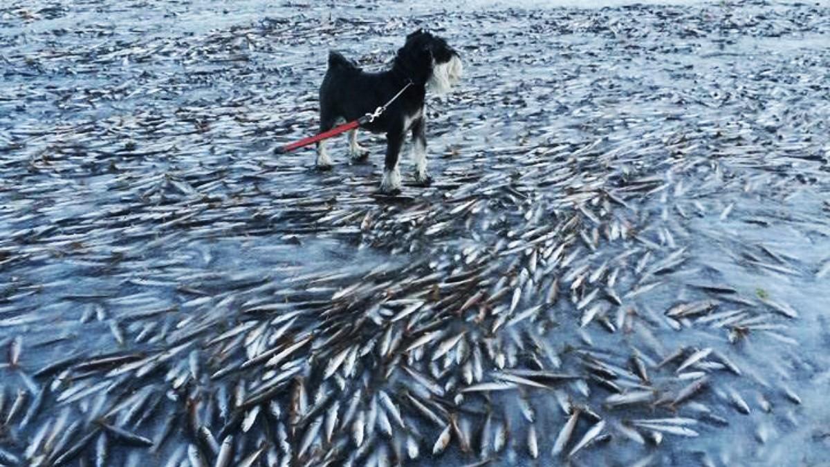 frozen herring lovund (image Norwegian Radio)