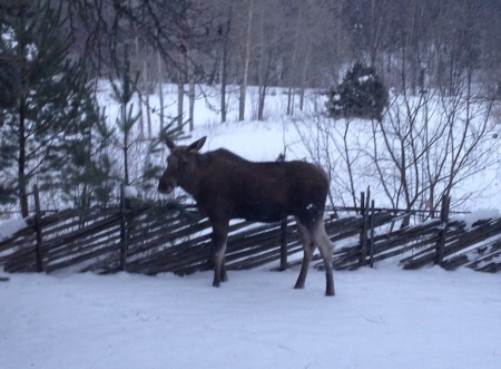 Moose in the garden January 2014