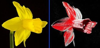 daffodil in visible and UV light image Dr. Mccarthy