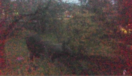 elk in the garden 20141025 1802