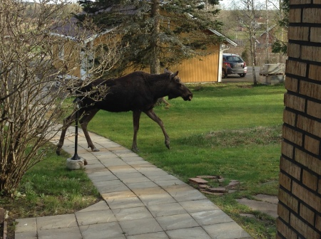 elk in the garden 20150423