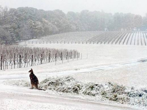 17 July 2015 A kangaroo on the Colmar Estate vineyard in Orange, New South Wales, Australia during the winter storm image AP